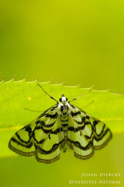 Nymphula nitidulata - Egelskopmot