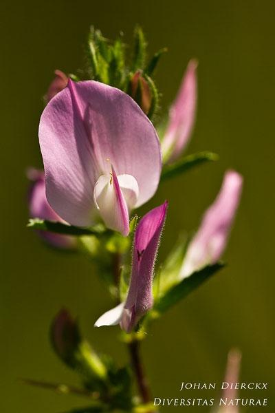 Ononis spinosa - Kattendoorn