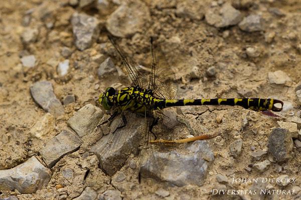 Onychogomphus forcipatus - Kleine tanglibel