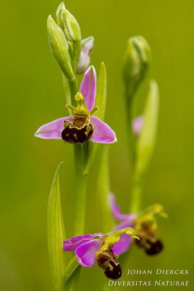 Ophrys apifera - Bijenorchis