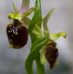 Ophrys archipelagi x Ophrys parvimaculata