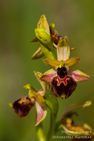 Ophrys archipelagi x Ophrys passionis
