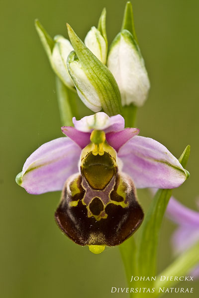 Ophrys fuciflora - Hommelorchis