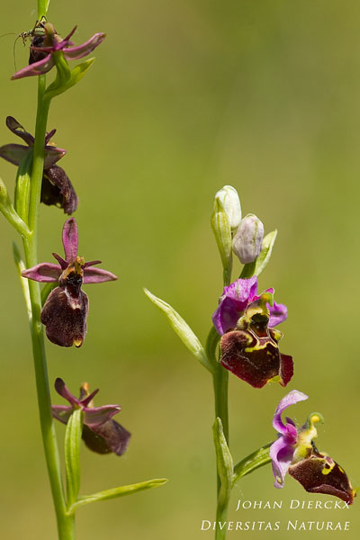 Ophrys fuciflora x Ophrys insectifera