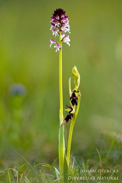 Ophrys insectifera & Neotinea ustulata - Vliegenorchis & Aangebrande orchis