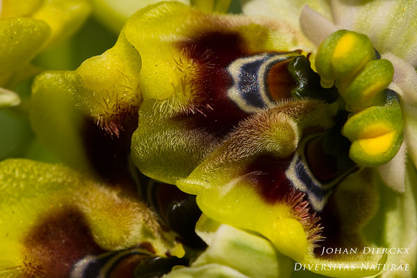 Ophrys neglecta - Lusus naturae