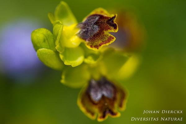 Ophrys numida