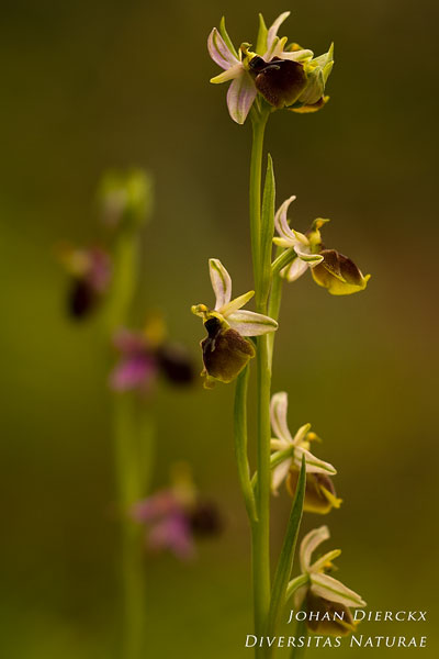 Ophrys panattensis