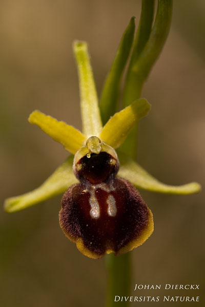 Ophrys sphegodes - Spinnenorchis