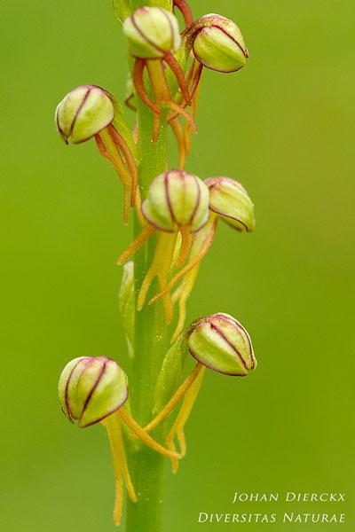 Orchis anthropophora - Poppenorchis