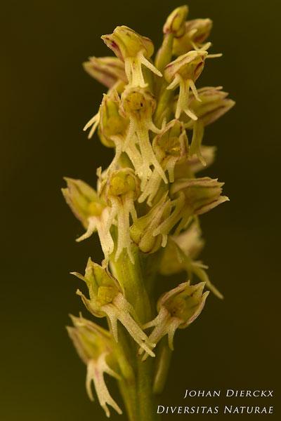 Neotinea maculata × Orchis anthropophora