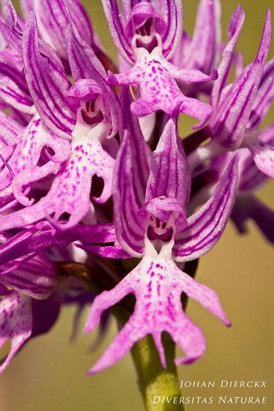 Orchis italica - Italiaanse orchis