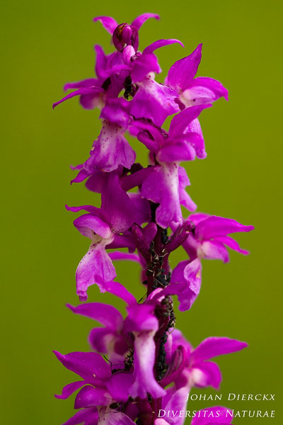 Orchis mascula - Mannetjesorchis