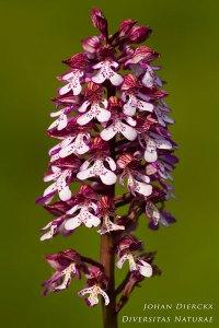 Orchis militaris x Orchis purpurea