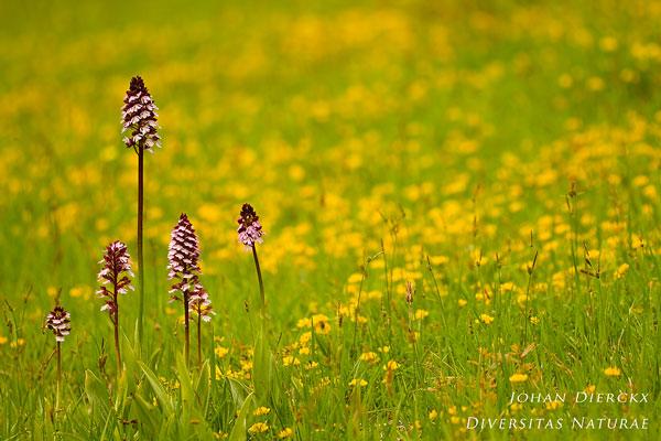 Orchis purpurea - Bruine orchis
