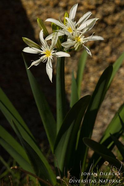 Pancratium illyricum