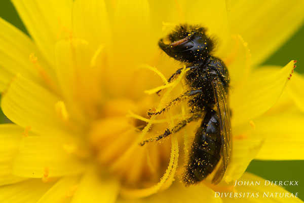 Panurgus calcaratus - Kleine Roetbij