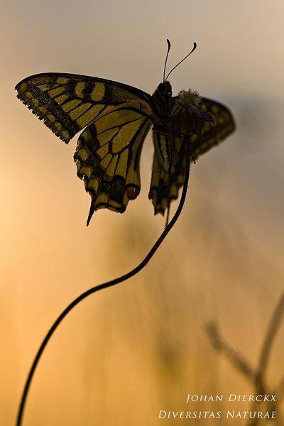 Papilio machaon - Koninginnenpage