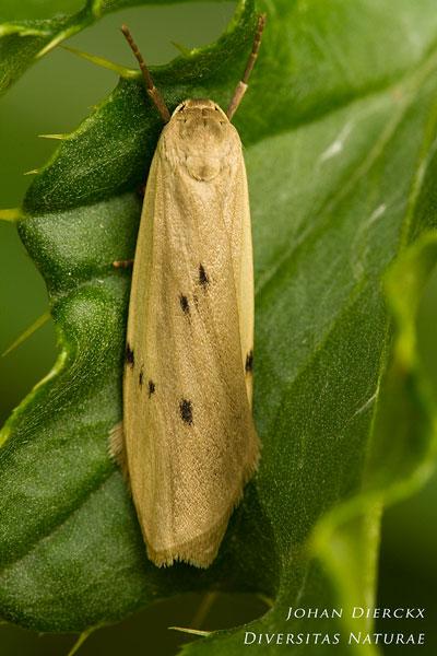 Pelosia muscerda - Muisbeertje