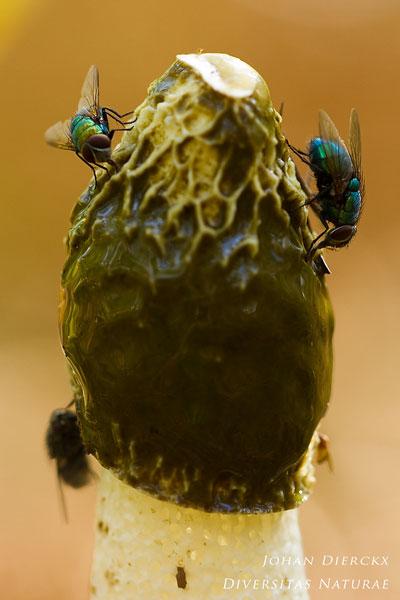 Phallus impudicus - Grote stinkzwam