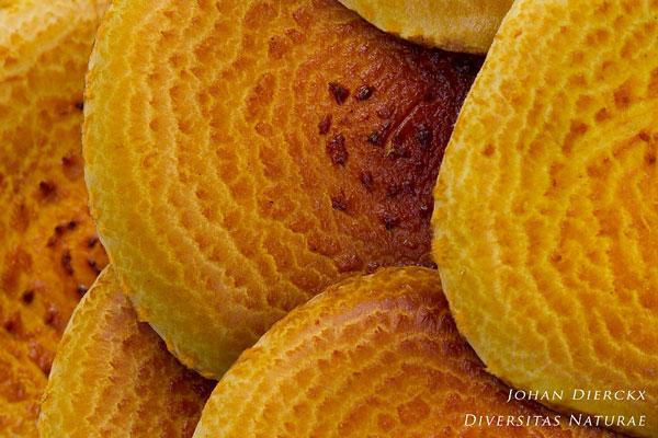 Pholiota adiposa - Goudvliesbundelzwam