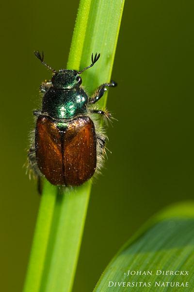 Phyllopertha horticola - Rozenkever