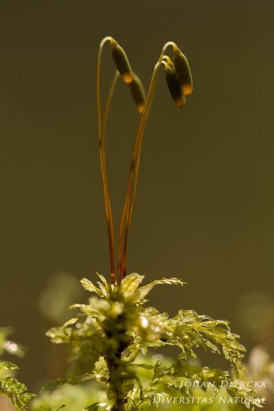 Plagiomnium undulatum - Gerimpeld boogsterrenmos