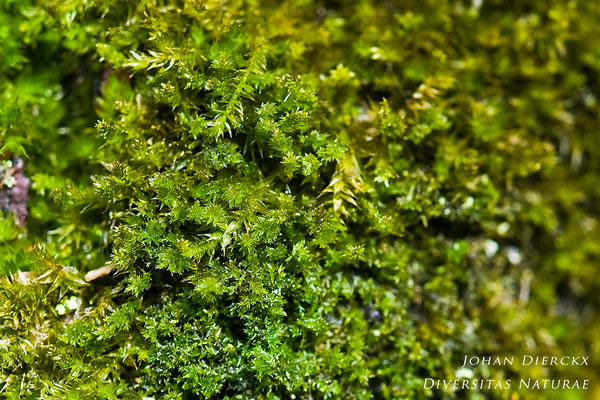 Platygyrium repens - Kwastjesmos