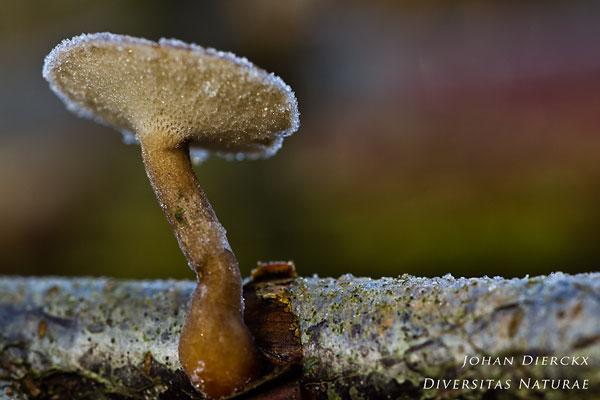 Polyporus brumalis - Winterhoutzwam