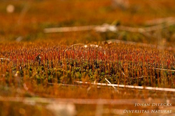 Polytrichum piliferum - Ruig haarmos