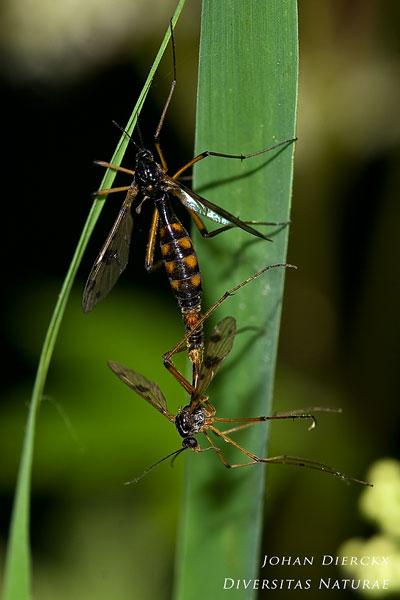 Ptychoptera contaminata