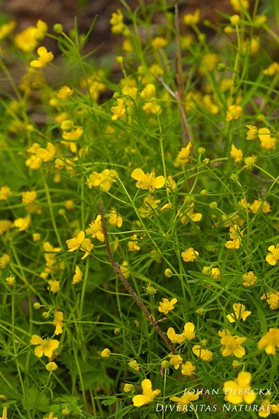 Ranunculus auricomus - Gulden boterbloem