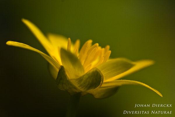 Ranunculus ficaria - Gewoon speenkruid
