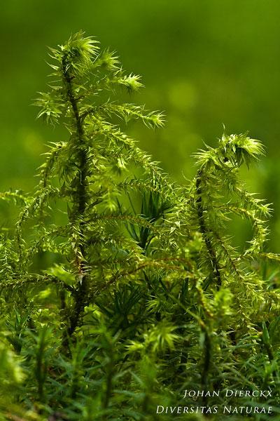 Rhytidiadelphus triquetrus - Pluimstaartmos