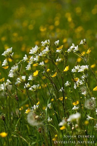 Saxifraga granulata - Knolsteenbreek