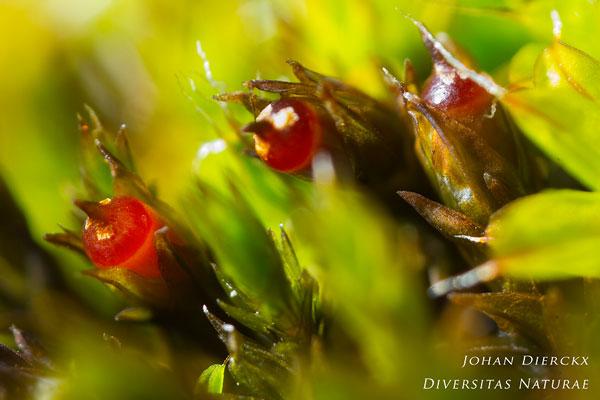 Schistidium crassipilum - Muurachterlichtmos