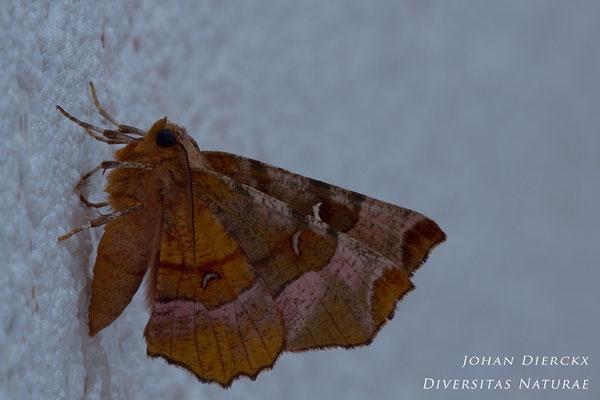 Selenia tetralunaria - Halvemaanvlinder