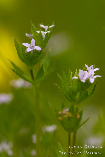 Sherardia arvensis - Blauw walstro