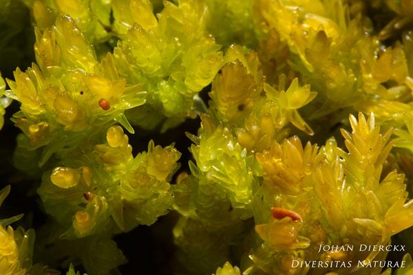 Sphagnum compactum - Kussentjesveenmos