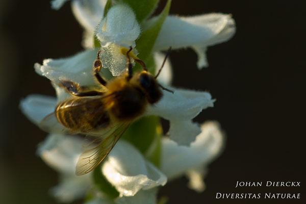 Spiranthes odorata - Welriekende schroeforchis