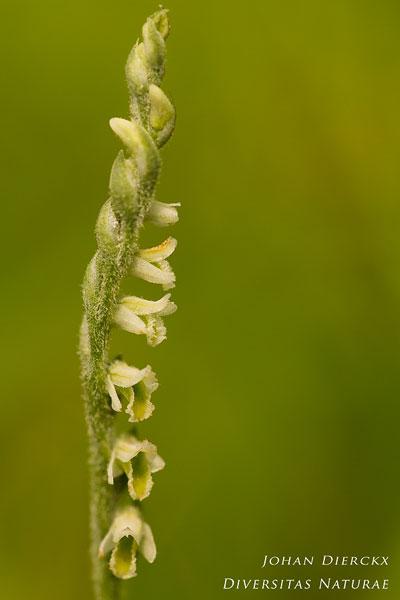 Spiranthes spiralis - Herfstschroeforchis