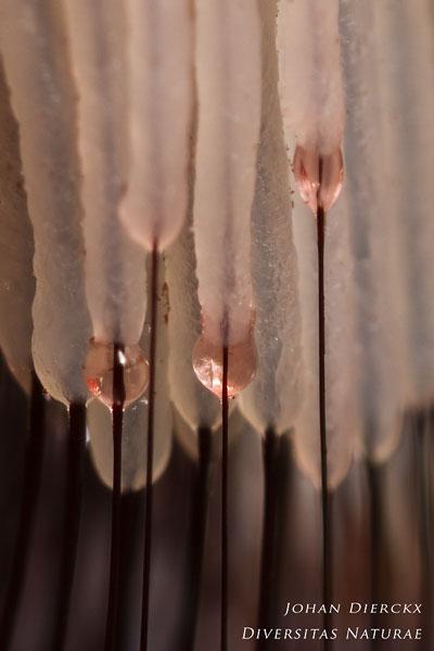 Stemonitis fusca - Gebundeld netpluimpje