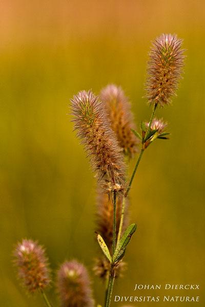 Trifolium arvense - Hazenpootje
