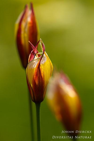 Tulipa sylvestris subsp. australis