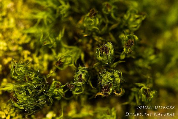 Ulota phyllantha - Broedkroesmos