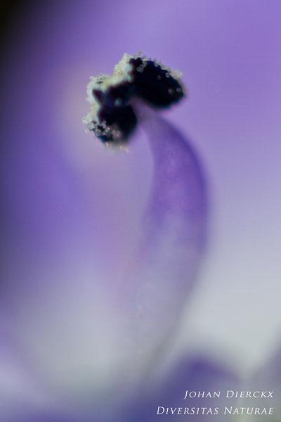 Veronica hederifolia - Klimopereprijs