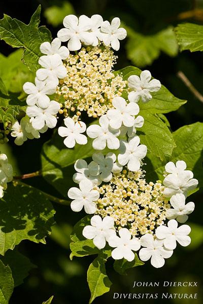 Viburnum opulus - Gelderse roos