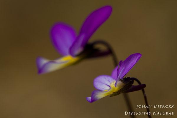 Viola curtisii - Duinviooltje
