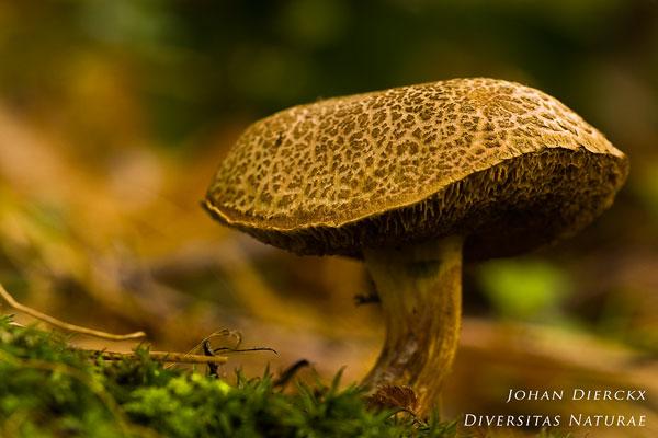 Xerocomus porosporus - Sombere Fluweelboleet