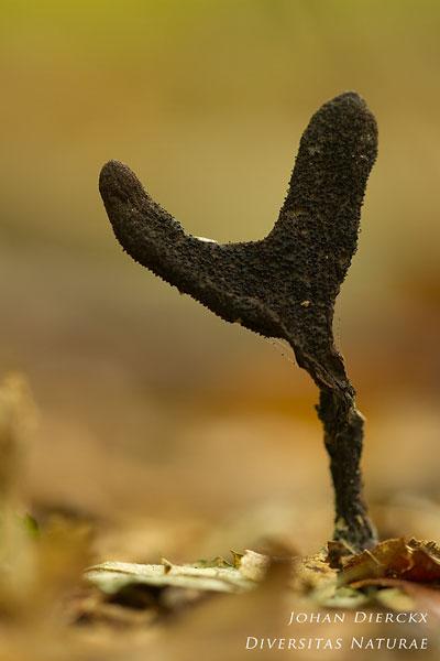 Xylaria longipes - Esdoornhoutknotszwam